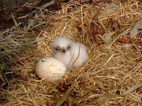 Eagle_chick