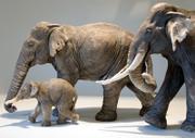 Asian_elephants_1